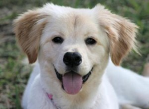 golden-retriever-mix-puppy-emmi-21421470