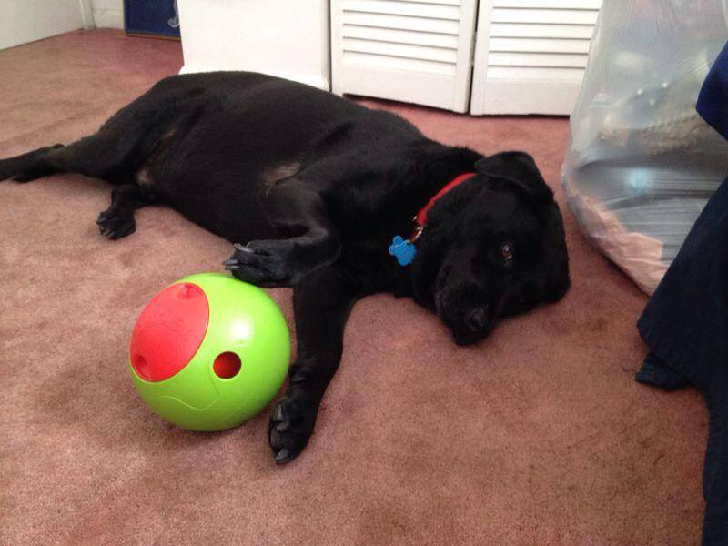 Black lab with Foobler, the dog treat ball